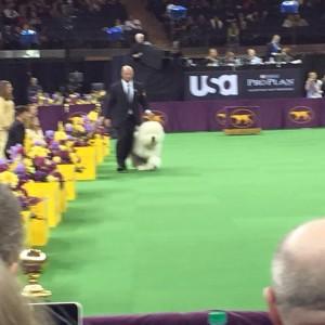 Westminster Dog Show Photos Posting Live. Photos by Dana Humphrey! 2