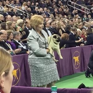 Westminster Dog Show Photos Posting Live. Photos by Dana Humphrey!